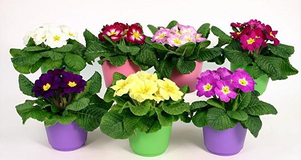 цветущие комнатные цветы названия