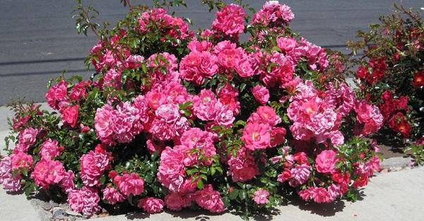 роза свани почвопокровная