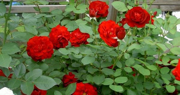 роза флорибунда фото и описание
