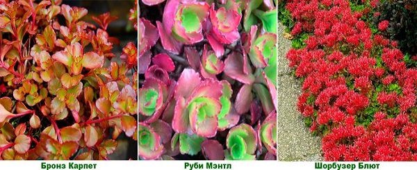 седум фото цветов