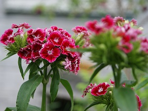 гвоздика турецкая садовая
