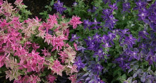 сальвия фото цветов рассада когда сажать