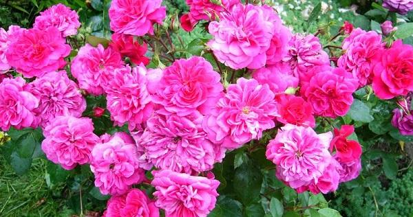 флорибунда розы сорта и фото