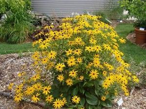 цветок рудбекия фото посадка и уход
