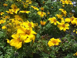 цветок биденс фото и описание