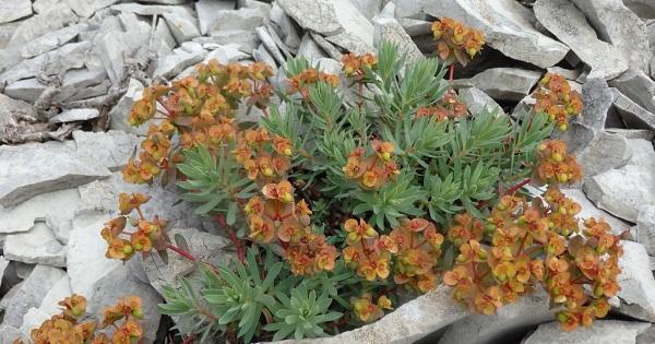 цветы молочай фото садовый