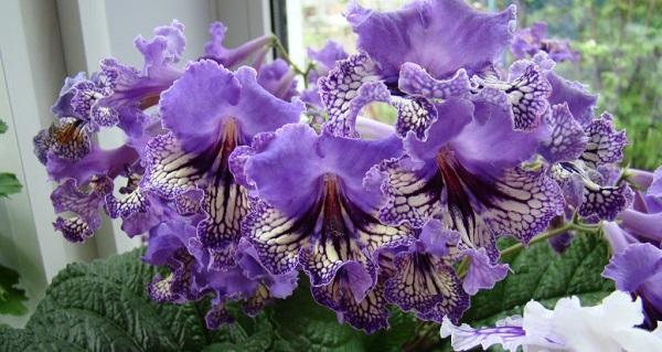 комнатные цветы цветущие круглый год