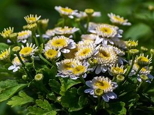 пиретрум робинсон выращивание из семян