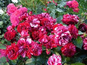 розы флорибунда сорта фото описание каталог