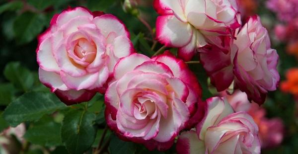 роза флорибунда купить