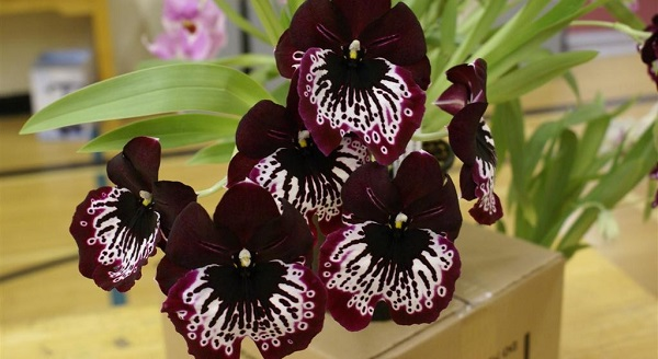 цветы мильтония