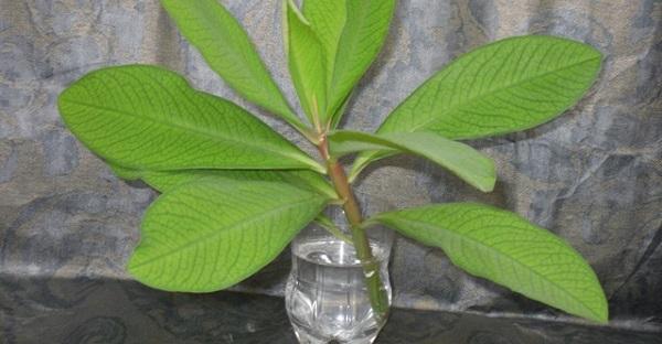синадениум черенкование