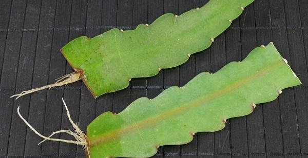 эпифиллум размножение