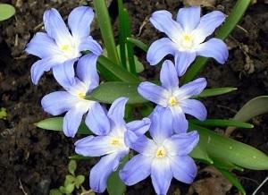 хионодокса фото цветов