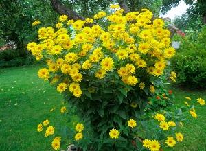 цветок гелиопсис фото посадка и уход