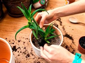 алоэ уход за растением в домашних условиях