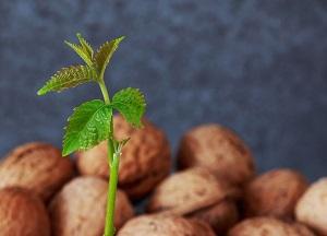 правила выращивания грецкого ореха из ореха