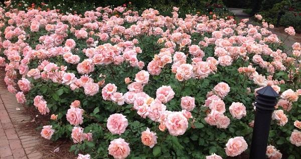 роза флорибунда нина