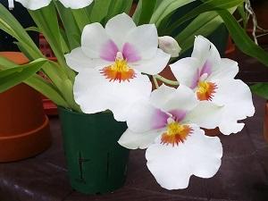 орхидея мильтония фото