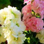 Левкой или Маттиола: фото цветов с изысканным ароматом, полезные советы цветоводам по выращиванию душистой культуры