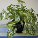 Полуэпифитная лиана Сингониум: уход в домашних условиях, фото тропической культуры, создание оптимальных условий для развития растения