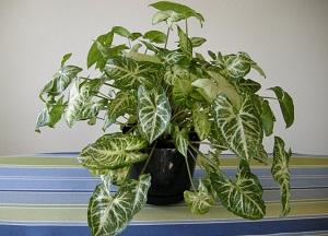 нюансы выращивания Сингониума в домашних условиях