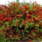 Хеномелес или Айва японская: фото и описание кустарника, особенности посадки и выращивания, возможность получения плодов