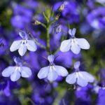 Капризная красавица Лобелия: фото цветов, нюансы выращивания растения с нежными разноцветными бутонами и яркой зеленью