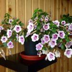 «Волшебный цветок» Ахименес: фото и правила создания оптимальных условий для нормального развития растения