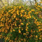 Керрия или Керия: фото и описание кустарника, правила и тонкости выращивания великолепного растения с желтыми цветками