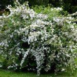 Изящное растение Дейция: фото и описание кустарника, нюансы выращивания культуры с роскошными снежно — белыми цветами, раскидистой кроной и гибкими поникающими ветвями