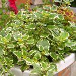 Комнатная мята или Плектрантус: уход в домашних условиях, фото декоративного растения с эффектным видом и приятным ароматом