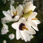 Клубнелуковичный тропический цветок Иксия: посадка и уход в открытом грунте, фото, полив, подкормка и удобрение