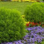 Пышный однолетний кипарис или Кохия: посадка и уход в открытом грунте, фото уникального растения, похожего на пушистый шар