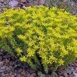 Очиток или Седум: посадка и уход в открытом грунте, виды и сорта суккулентного растения, полезные рекомендации цветоводам
