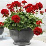 Роскошная Пеларгония: фото цветов, виды и сорта растения для выращивания дома, нюансы ухода за культурой
