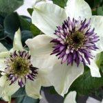 Ломонос или Клематис: посадка и уход в открытом грунте весной, использование вьющейся высоко декоративной цветущей лианы в ландшафтном дизайне