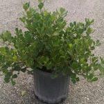 Вечнозеленая культура Клузия: уход в домашних условиях, создание оптимальных условий для развития растения
