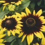Солнечный цветок Рудбекия: фото, посадка и уход, особенности выращивания Золотого шара и видов с простыми цветами