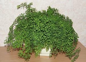правила выращивания Адиантума в горшке