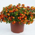 Оригинальный комнатный кустарник с яркими соцветиями Лантана: уход в домашних условиях, нюансы пересадки, полива и размножения тропического цветка