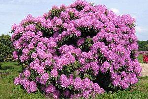 рекомендации по выращиванию рододендрона на участке