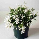 Комнатный цветок Бувардия: фото, советы цветоводам по выращиванию растения с красочным нежным цветением