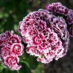 Садовая турецкая гвоздика: выращивание из семян, когда сажать и как выращивать красивый цветок с приятным ароматом