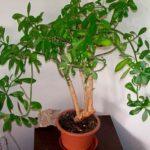 «Дерево любви» Синадениум: фото комнатного суккулентного растения и особенности его выращивания