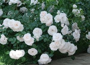 как выращивать почвопокровные розы