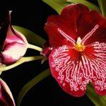 Орхидея «Анютины глазки» или Мильтония: уход в домашних условиях за эффектным и изысканным представителем семейства орхидных