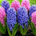 Роскошные первоцветы Гиацинты: посадка и уход в открытом грунте, выращивание растения с изумительной красотой и приятным ароматом