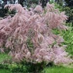 Бисерник или Тамарикс: посадка и уход в открытом грунте, советы по выращиванию кустарника с высокой декоративностью