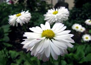 как выращивать Пиретрум на участке